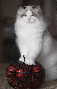 Angelheart Ragdolls located in Burlington Wisconsin photo gallery of Ragdoll cats and kittens - Angelheart Ragdolls