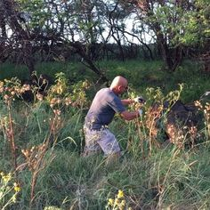 Seed Collecting is Our Life! Rick is carefully collecting some Datura seed pods, they are thorny so you need to wear gloves.  Datura wrightii or Sacred Datura is the name of a poisonous perennial plant and ornamental flower of southwestern North America
