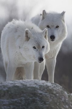 Arctic Wolves, my brother and I - Please consider enjoying some flavorful Peruvian Chocolate. Organic and fair trade certified, it's made where the cacao is grown providing fair paying wages to women. Varieties include: Quinoa, Amaranth, Coconut, Nibs, Coffee, and flavorful dark chocolate. Available on Amazon! http://www.amazon.com/gp/product/B00725K254