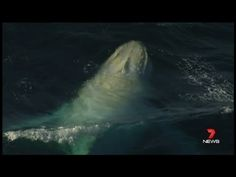 The only known white humpback whale in the world resurfaces