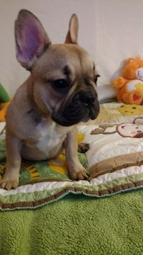 Litter Of 6 French Bulldog Puppies For Sale In Ellijay Ga Adn