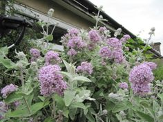 Buddleja crispa Garden Plants, Street, Summer, Gardens, Image, Ideas, Summer Time, Outdoor Gardens, Thoughts