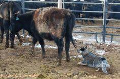 Blue-Heeler - Australian Cattle dog