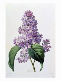 Lilas, Pierre-Joseph Redouté, botanical illustration.