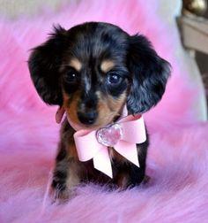 Tiny Mini Dachshund PuppyAdorable Dapple PrincessSold Found a loving family