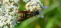 Hi, wasp
