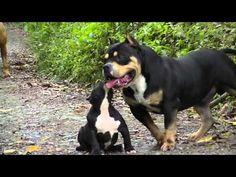 American Bully Pax Pups 2016 Bue Tricolor Gene IPC International Pedigree