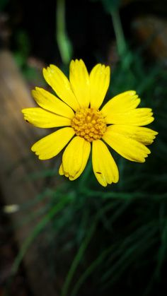 The flower of the Four Nerve Daisy. A Texas native, Four nerve daisy is heat and drought tolerant. It prefers dry, well-drained soils. The grass-like foliage works well in sunny rock gardens, container gardens and borders. Especially desirable because it blooms often throughout the winter months. For sale at Sol'stice Garden Expressions in Dripping Springs, TX.