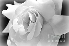 Spring is here and this beautiful rose is out showing all it�s glory to the world. To me they are the most fascinating of flowers to watch as they spend their days slowly opening the petals one by one until they are ready for their full impact.  The watermark will not be on the final image.