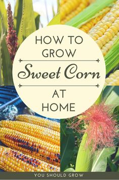 If you've never tried an ear of homegrown sweet corn, then you're really missing out. Fresh homegrown sweet corn is delicious in salsa, on the grill, or cooked into main and side dishes. While growing corn is not diff Organic Vegetables, Growing Vegetables, Permaculture, Growing Sweet Corn, Backyard Vegetable Gardens, Garden Landscaping, Landscaping Ideas, Organic Gardening Tips, Patio