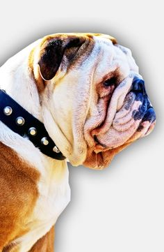 Get Fashion Leather Bulldog Collar for Everyday Walks and with Nickel Pyramids! 1 1/2 inch (40 mm) wide. Black, Brown, Tan