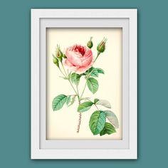 Botanical print 129, vintage botanical wall art, pink rose.