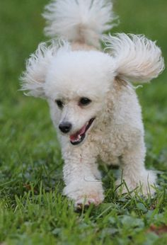 Cloudy type poodle. Poodles really are the most amazing dogs I've ever had the joy of knowing. So much personality.