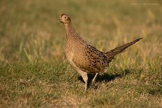 Pheasant by Krisztina M