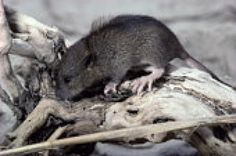 Getting Rid of Rats in the Community is the Responsibility of Every Homeowner: Mouse or Rat - How to Tell the Difference Between a Rat and a Mouse