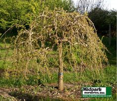 """Types+of+Small+Weeping+Trees 
