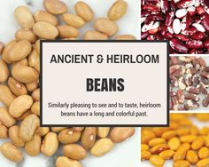 Humans have domesticated beans at various times in various regions. Over millennia, growers have selected for large seeds, bushy growth habit, color (beans are very colorful!), hardiness to local growing conditions, disease resistance, ease of cooking, and good flavor. Let's take a trip back in time to learn more about the colorful history of beans.