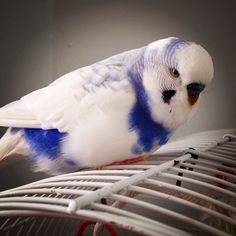 I want a budgie that looks exactly like this and I would name him Cloud.