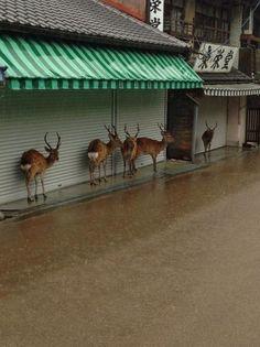 shelter from the rain, Nara Japan.