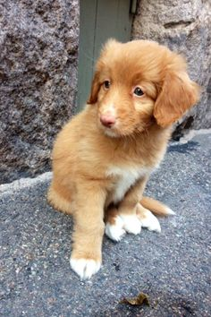 Cutest Lady puppy Novascotian retriever