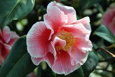 Camellia japonica 'Oo-La-La'