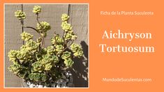 Aichryson Tortuosum - Fichas de Plantas Suculentas Cactus Y Suculentas, Air Plants, Compost, Succulents, Cacti, Flowers, Gardening, Garden, World