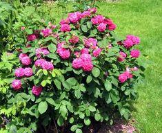 rosa de resht
