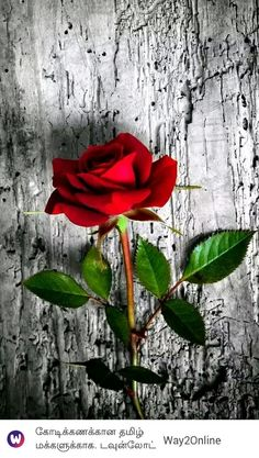 26 Happy Valentine's Day Roses/flowers Wallpapers for iPhone - Red rose. Beautiful Flowers Wallpapers, Beautiful Rose Flowers, Beautiful Nature Wallpaper, Pretty Wallpapers, Love Flowers, Wallpaper Wallpapers, Paper Flowers, Iphone Wallpaper, Rose Flower Wallpaper