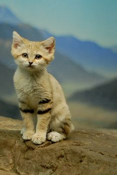 Even so, sand cat litters only produce an average of three itty-bitty sand cats, making it even harder for their numbers to grow. | 18 Reasons The Sand Cat Is Your New Favorite Animal