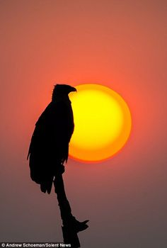 a Fish Eagle looks content watch the evening descend,