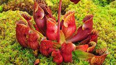 Contrairement à d'autres espèces du même genre, les urnes de Sarracenia purpurea sont couchées pour récupérer l'eau de pluie, nécessaire pour noyer et digérer les insectes et les gastéropodes (limaces, escargots…) qui se font prendre.