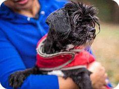Sacramento, CA - Shih Tzu Mix. Meet LAVERNE, a dog for adoption. http://www.adoptapet.com/pet/14466025-sacramento-california-shih-tzu-mix