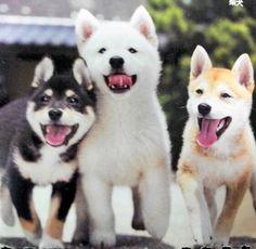 Happy Shiba puppies