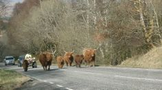 Traffic slowed while Highland cattle were moved on a road near Oban. Deborah Ross, from north Norfolk, stayed in her car to take the photo.