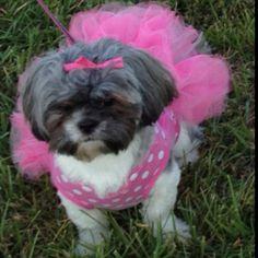 LuLu on Halloween.... our Shih tzu puppy!