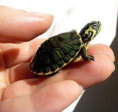 Yellow Bellied Slider, Cute Baby Turtles, Kawaii Turtle, Slider Turtle, Pool Colors, Pet Turtle, Human Babies, Tortoises, Cute Little Animals