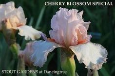 Iris Cherry Blossom Special, a space age tall bearded iris by Hedgecock, available at Stout Iris & Daylily Gardens.