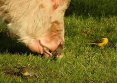 Koe graast het gras weg voor de snavel van de gele kwikstaartjes. - Vogels - Gele Kwikstaart