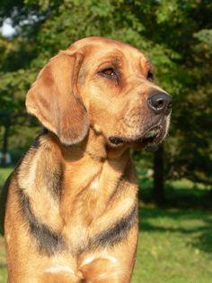 Polish Hound / Ogar Polski #Hunting #Dogs Hunter Dog, Hound Dog, Hunting Dogs, Dogs Of The World, Big Dogs, Dog Breeds, Labrador Retriever, Window, Polish