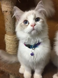 Welcome to Genotype Cats - Ragdoll Cats Ragdoll Cats, Kittens, Rage, Animals, Shop, Cute Kittens, Animaux, Animal, Baby Cats