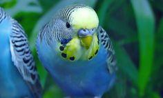 Pet Bird Cage, Easy Bird, Good Buddy, Budgies, Parakeet, Interesting Facts, Parrot, Fun Facts, Mystery