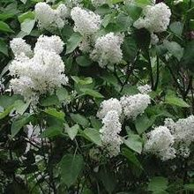 Common White Lilac (Syringa Vulgaris)
