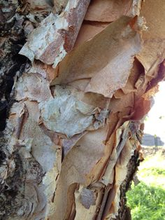 Betula nigra (river birch) bark