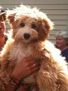 My mini goldendoodle :) Ezra