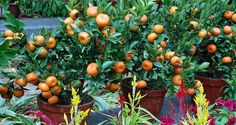 grow fruit trees anywhere