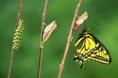 L'evoluzione della farfalla