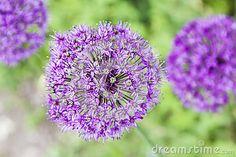 Beautiful purple flowers in the Estonian garden