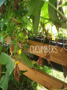 a-girls-garden-raised-urban-gardens-how-to-garden-cucumbers