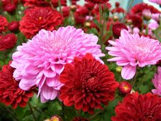 Tips For Overwintering Potted Mums Flower Images, Flower Pictures, Exotic Flowers, Beautiful Flowers, Chrysanthemum Morifolium, Potted Mums, Overwintering, Cottage Garden Design, Tropical