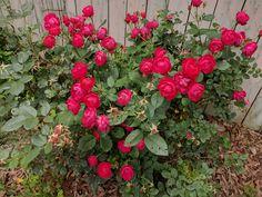 Roses #gardening #garden #gardens #DIY #landscaping #home #horticulture #flowers #gardenchat #roses #nature
